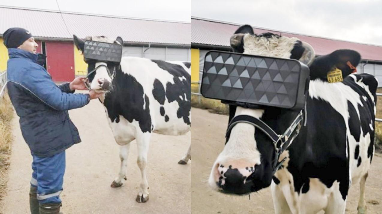 Έβγαλαν γυαλιά εικονικής πραγματικότητας για τις αγελάδες για να τις ηρεμούν και κάνουν καλύτερο γάλα
