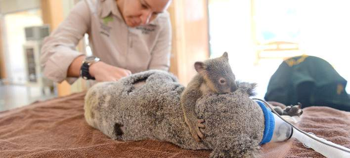 Μωρό κοάλα αγκαλιάζει στοργικά τη μαμά του που κάνει εγχείρηση