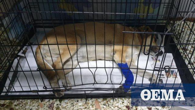 Συνελήφθη άνδρας που πυροβόλησε σκυλίτσα στο Σχηματάρι Βοιωτίας